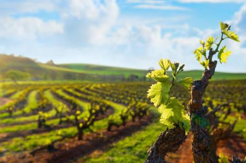 Vineyards in Australia